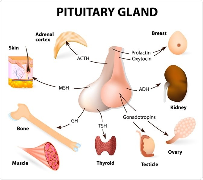 Image showing the glands and organs regulated by the pituitary gland.